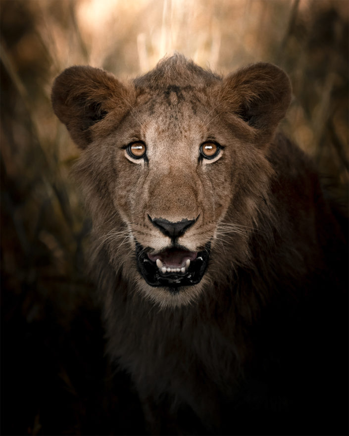 Lion - Kidepo National Park