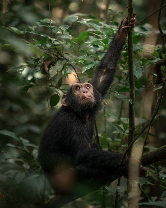 Chimp | Kibale National Park